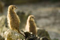 Meerkats On Rocks Royalty Free Stock Photography