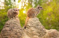 Meerkats op het vooruitzicht stock afbeelding
