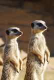 Meerkats op Plicht Stock Afbeeldingen