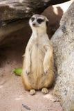 Meerkats in open zoo Stock Images
