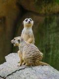 Meerkats på parkera Arkivbilder