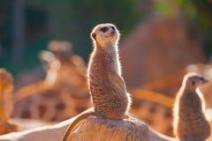 Meerkats på solnedgången Arkivbilder