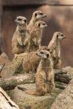 Meerkats på vaket Royaltyfri Bild