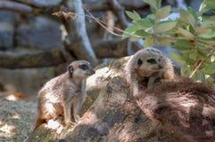 Meerkats an Paignton-Zoo in Devon, Großbritannien Lizenzfreies Stockbild