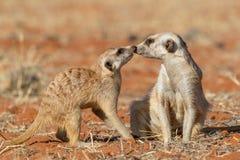Meerkats par som spelar på sandSuricatasuricattaen Royaltyfri Foto
