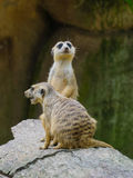 Meerkats at the park Stock Images