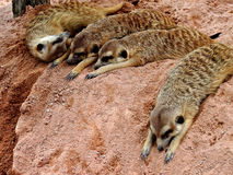 Meerkats in Pattaya zoo Royalty Free Stock Images