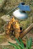 Meerkats pela luz de lâmpada Imagem de Stock