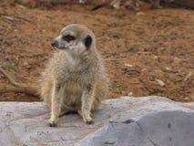 Meerkats pensant à quelle distance est il Photos libres de droits