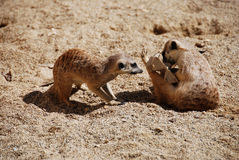 Meerkats playing Stock Photos