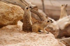 Meerkats pozycja Zdjęcia Royalty Free