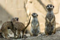 Meerkats pozycja Zdjęcie Royalty Free