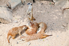 Meerkats in a Prague Zoo Royalty Free Stock Photo