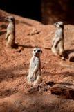 Meerkats przycupnięcie na piasku i cieszy się słonecznego dzień zdjęcia royalty free