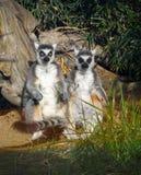 Meerkats punktu nieposłuszeństwa zoo Tacoma zdjęcia royalty free