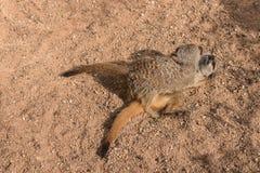 Meerkats que luchan Imagenes de archivo