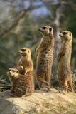 Meerkats que mira hacia fuera para el peligro Fotografía de archivo