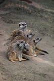 Meerkats que olha em uma fileira Foto de Stock