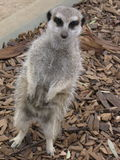 Meerkats que pendura para fora Fotos de Stock Royalty Free