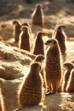 Meerkats que presta atenção no nascer do sol foto de stock