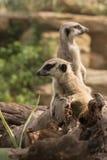 Meerkats que se coloca en tronco de árbol Fotografía de archivo