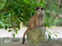 Meerkats que se sienta en el guardia que mira para que peligro se prepare para protegerse imagenes de archivo
