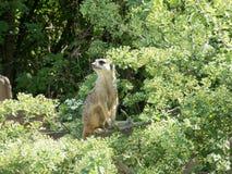 Meerkats que se sienta en una rama con las hojas verdes alrededor de ella fotos de archivo