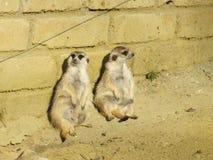 Meerkats que tem uma ruptura fotografia de stock royalty free