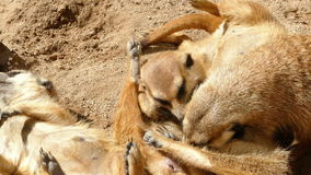 Meerkats resting. stock video