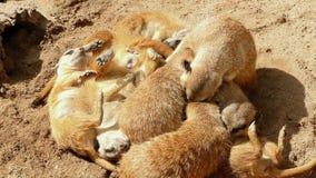 Meerkats resting. stock video footage