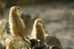 Meerkats on rocks Royalty Free Stock Photography