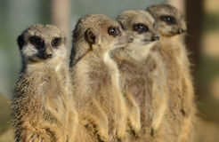 Meerkats in a row. A row of four adult meerkats on look out Royalty Free Stock Photos