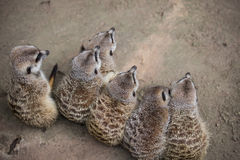 Meerkats on a row. 6 lovely meerkats sitting on 1 row Stock Photos