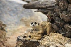 Meerkats salvajes Imágenes de archivo libres de regalías