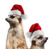 Meerkats santa hat Stock Photo