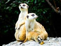 Meerkats se reposant sur le monticule à la reconnaissance image stock