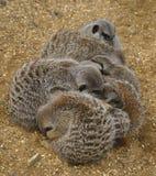 Meerkats si è rannicchiato immagine stock libera da diritti