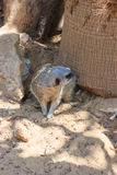 Meerkats sitting afternoon on sand under the sun Stock Image