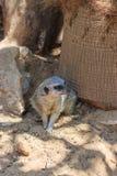 Meerkats sitting afternoon on sand under the sun Stock Photos