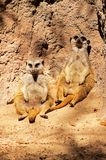 Meerkats sitting against rock. Royalty Free Stock Photography