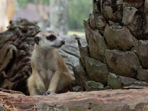 Meerkats sitting on guard watching for danger to prepare to protect itself in a zoo. With selective focus Stock Image
