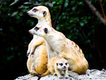 Meerkats sitting on the mound to reconnaissance Stock Images