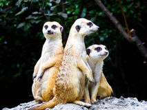 Meerkats sitting on the mound to reconnaissance Stock Photography