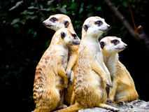 Meerkats sitting on the mound to reconnaissance Royalty Free Stock Photos
