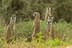 meerkats skywatching Fotografia Royalty Free