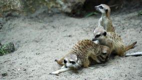 Meerkats sleeping and eating stock footage