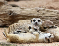 Meerkats sleeping Royalty Free Stock Photo