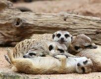 Meerkats sleeping Royalty Free Stock Photo