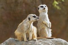 Meerkats in sole Fotografia Stock Libera da Diritti