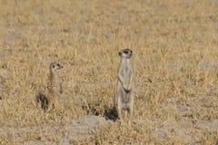 Meerkats som är stående upp som människa Arkivbilder